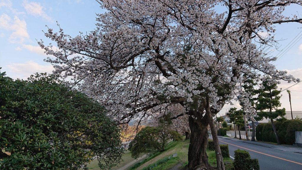 桜〜諸行無常の響あり🌸